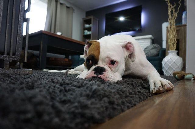 odeur-chien