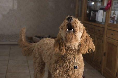 Faire cesser votre chien d'aboyer intempestivement