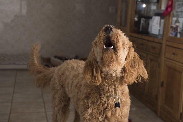 chien-aboiements