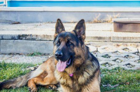 Surveillance d'une maison : quel chien choisir?
