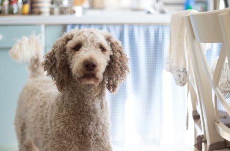 Chien appartement : 5 races de chien adaptées à la vie en appartement